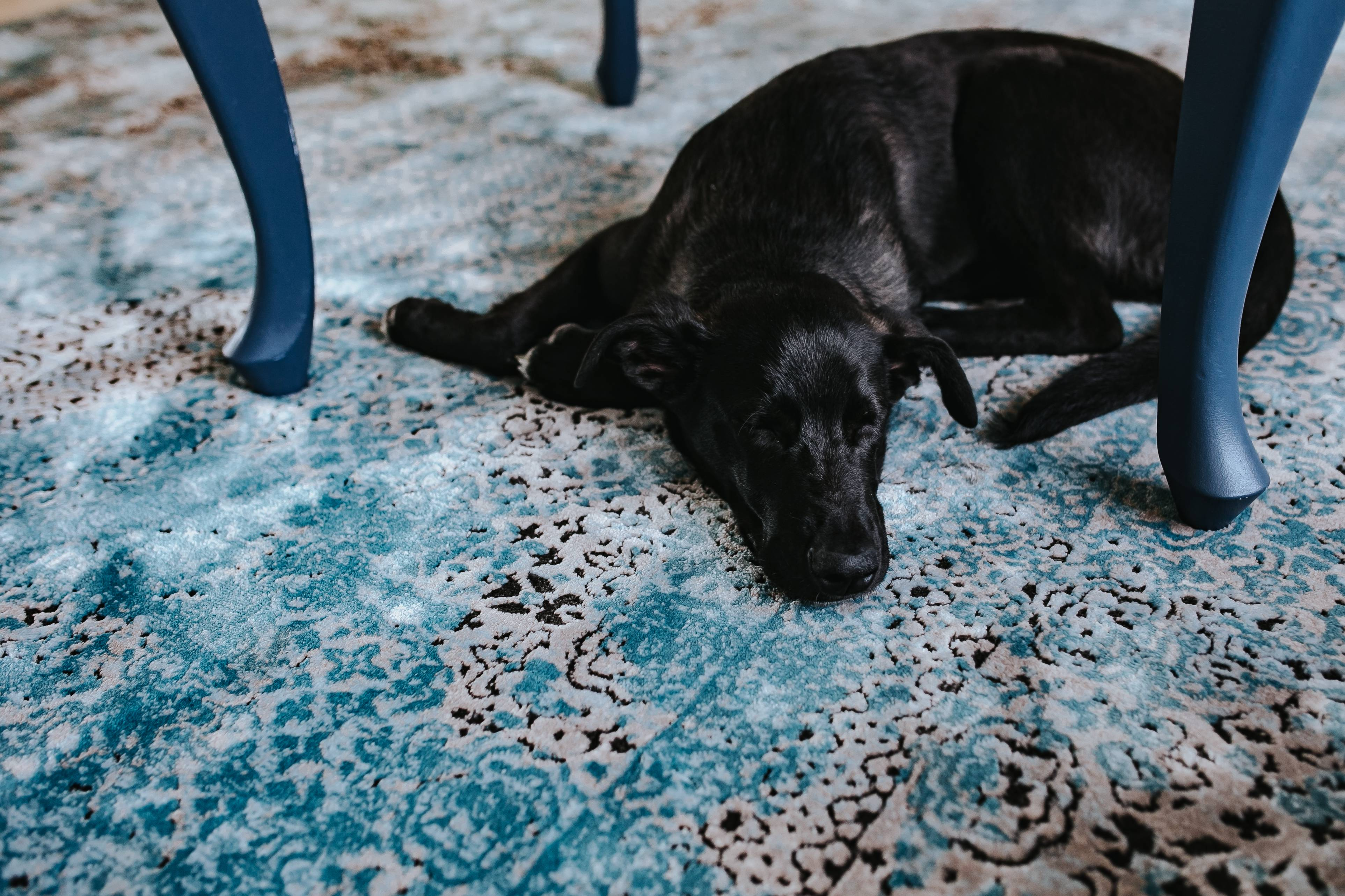 kaboompics_Black dog on a light blue carpet.jpg